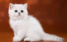 英短银渐层小猫怎么看品相?银渐层品相鉴别