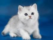 【英短猫】英国短毛猫的常见遗传性疾病