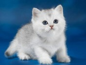 英短银渐层返祖现象有哪些?谈英短返祖长毛猫真相