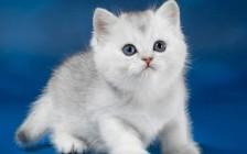 猫支气管炎博德特氏菌感染,猫博德特氏菌感染治疗首选药物强力霉素