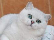 银色渐层猫多少钱一只?英短银点多少钱?