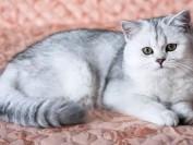 猫芽生菌病的病原,猫芽生菌病主要疗法:伊曲康唑