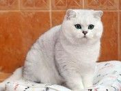 英短渐层猫的毛越白越好吗?银渐层猫猫越白越贵?