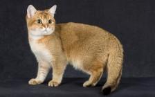 《预防母猫难产的措施有哪些?》繁育课程《纯种猫·繁育核心技术详解》