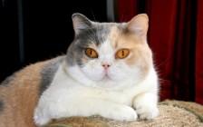 谈英国短毛猫梵花色,及三色英国短毛猫