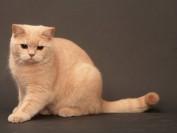 什么是猫肛囊病?猫肛囊病诊断及临床症状