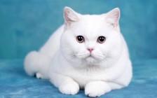 猫无形体病、猫粒细胞无形体病的诊断和疗法
