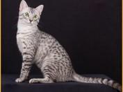 癫痫发作时如何保护猫的安全健康?地西epa如何预防猫癫痫发作?