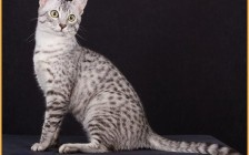猫瘟:猫泛白细胞减少症的诊断及治疗方法