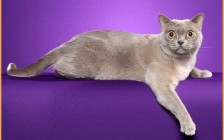 猫痤疮为猫常见的一种皮肤病,猫痤疮诊断,猫痤疮主要疗法
