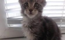 【缅因猫】买猫千万不要买这种品相的缅因猫!