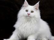 【缅因猫】缅因猫品相点评_品相案例分析