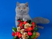 【英国短毛猫】赛级品相的英短蓝猫长啥样?