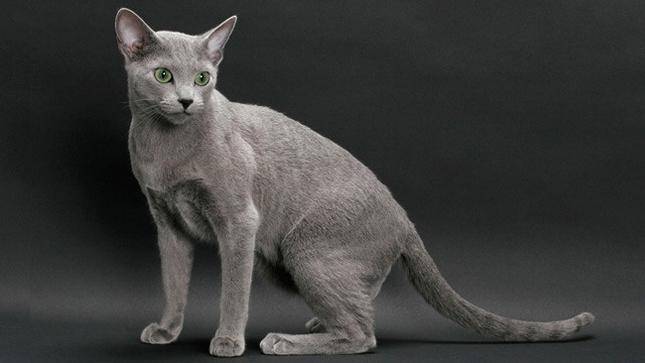 世界名宠俱乐部的俄罗斯蓝猫知识系列