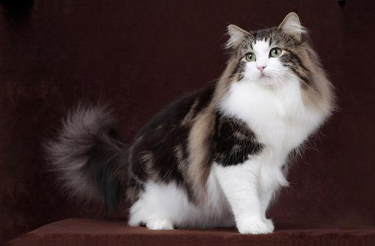 挪威森林猫花色,谈挪威森林猫花纹