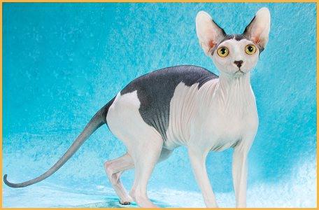 斯芬克斯猫颜色,斯芬克斯猫什么颜色贵?