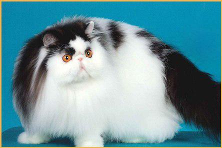 波斯猫买猫入门必读篇电子书