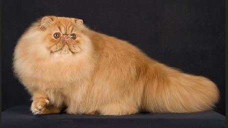 世界名宠俱乐部的波斯猫知识系列
