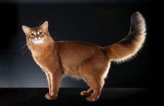 世界名宠俱乐部的索马里猫知识系列
