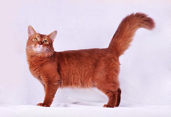《索马里猫品相详解电子书》索马里猫品相鉴定