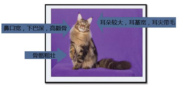 怎样识别纯种缅因猫?