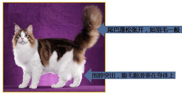 怎么看缅因猫的品相啊?