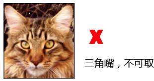 纯种缅因猫品相详解案例分析:八