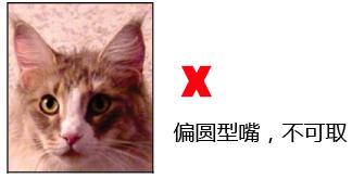 纯种缅因猫品相详解案例分析:九