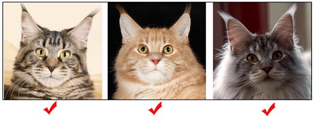 cfa缅因猫榜样