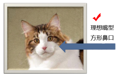 CFA缅因猫品相鉴定