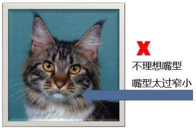 纯种缅因猫的品相标准详解案例分析:四