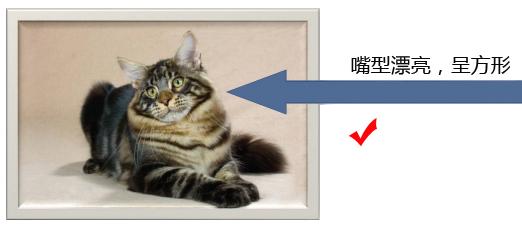 纯种缅因猫的品相标准详解案例分析:五