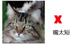 纯种缅因猫的品相标准详解案例分析:六