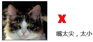 纯种缅因猫的品相标准详解案例分析:七