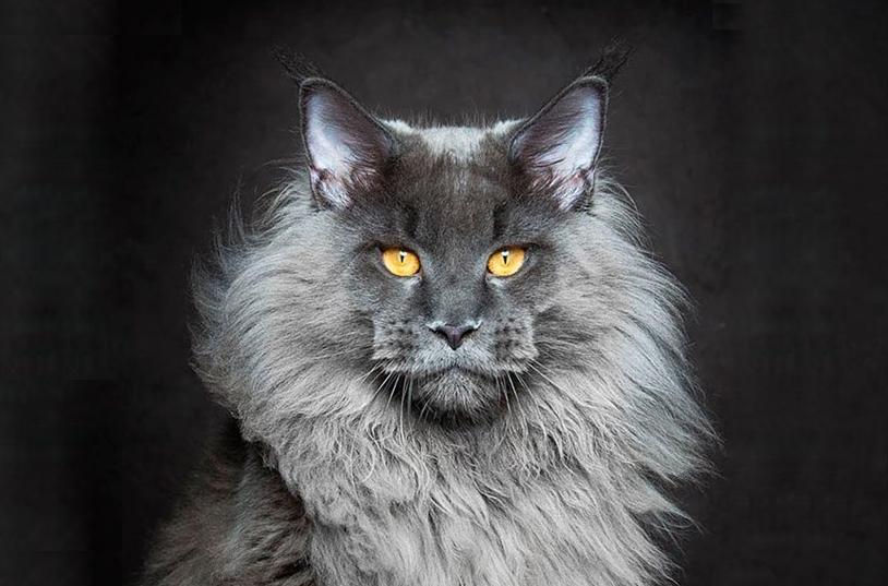 纯蓝色缅因猫