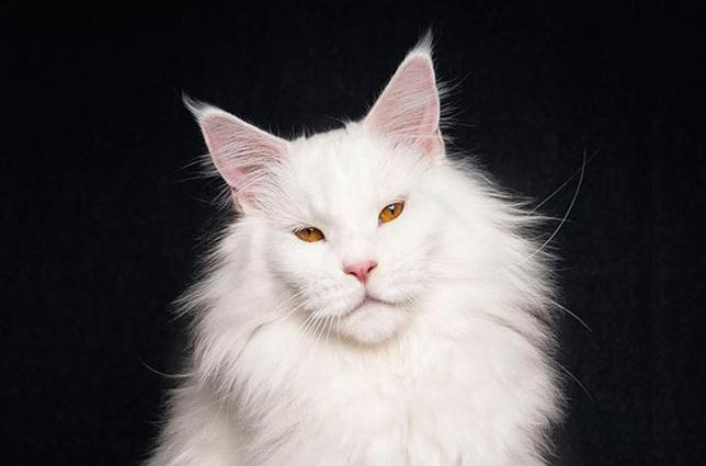 纯白色缅因猫