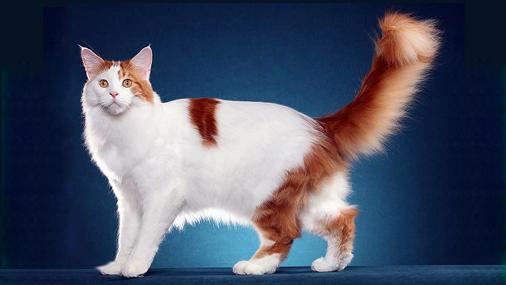 缅因猫回新家注意事项篇