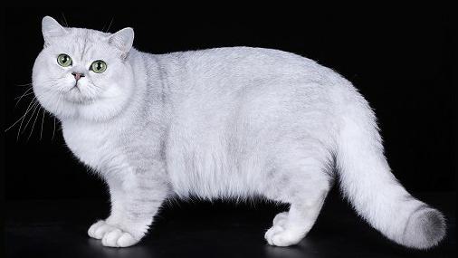 世界名宠俱乐部的英国短毛猫知识系列