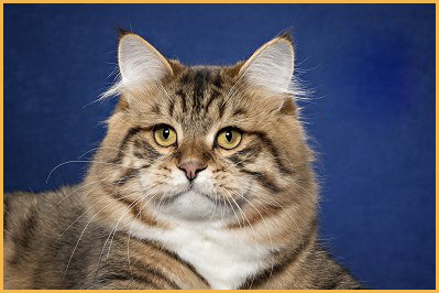 世界名宠俱乐部的西伯利亚森林猫知识系列