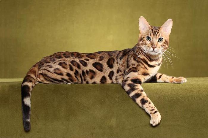 《孟加拉豹猫品相详解电子书》豹猫品相鉴定