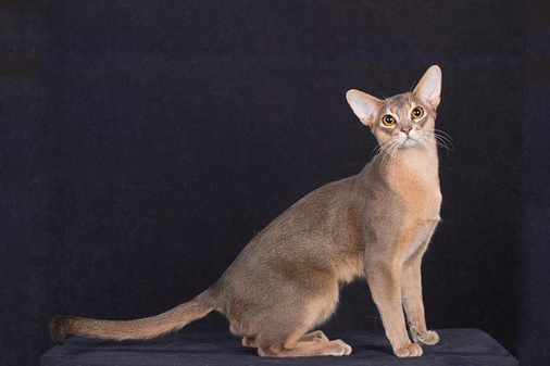 阿比西尼亚猫品相详解电子书