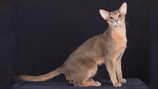 世界名宠俱乐部的阿比西尼亚猫知识系列