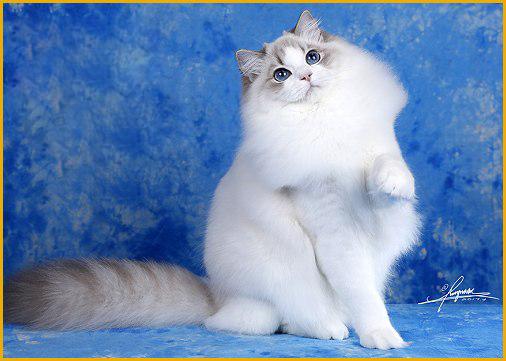 蓝双和海双布偶哪个贵?布偶猫海豹双色还是蓝双色贵?
