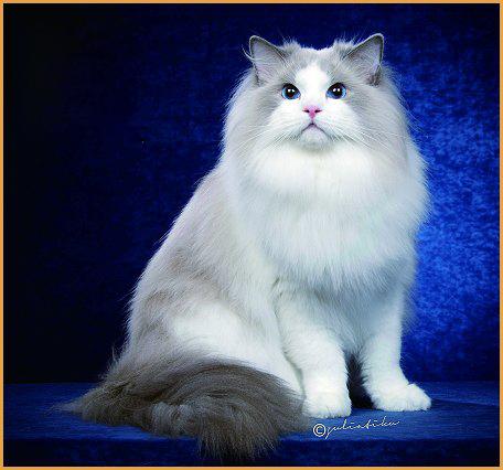 什么是猫的血统证书?如何辨别cfa血统证书的真伪?