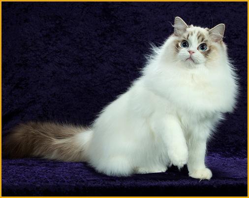 布偶猫价格由什么决定?纯种布偶猫价格多少?布偶猫多少钱一只?