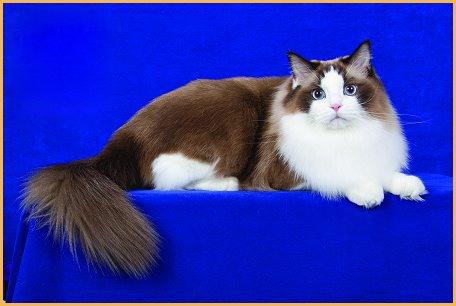 布偶猫常见的眼睛疾病