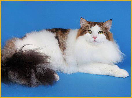 挪威森林猫有什么特点,谈挪威森林猫纯种特征