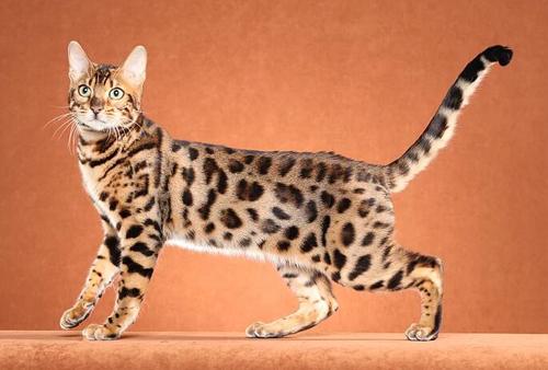 豹猫有几种花纹,谈孟加拉豹猫玫瑰纹