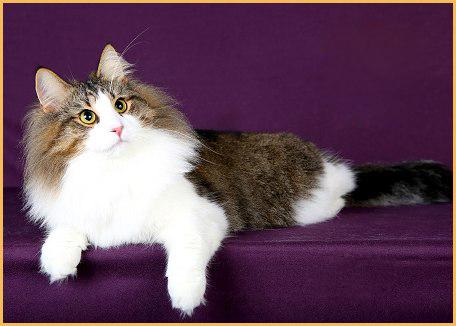 辨别分析挪威森林猫的典型特点