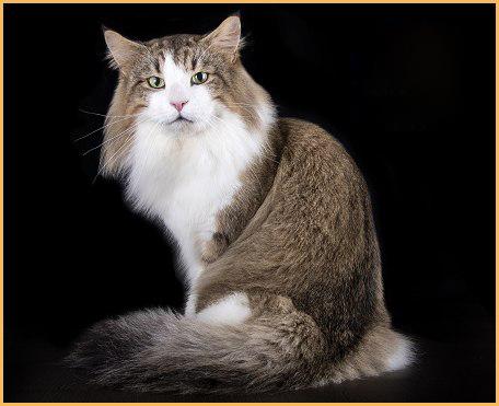 挪威森林猫回新家注意事项篇